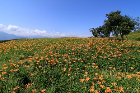 beautiful Lily field with blue sky in the background photo