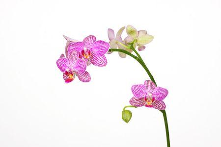 phalanx: orchid
