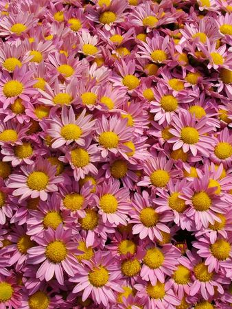 Many pink daisies with yellow centers. photo