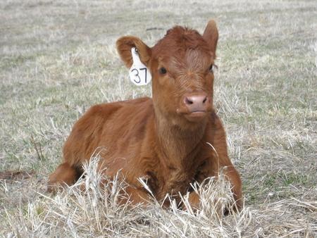Black Angus Red Angus Cow Cattle Portrait Farm Animal photo