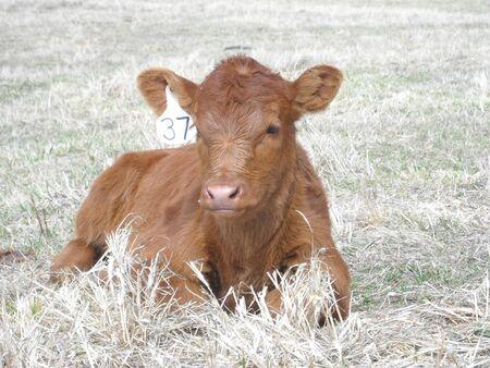 red heifer: Animal de granja de retrato de ganado de vaca Angus Roja Black Angus