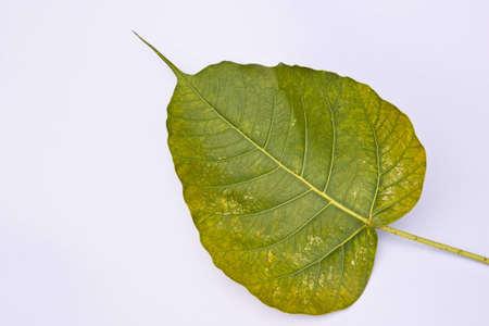 Buddha tree leaf on white Stock Photo