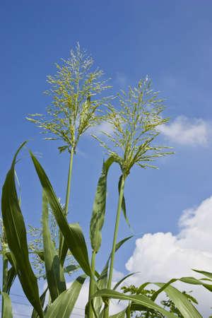 flower of grass under blue sky Stock Photo