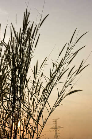 flower of grass taken by low angle in twilight Stock Photo