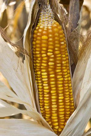 corn waiting for dry jn farm land Stock Photo