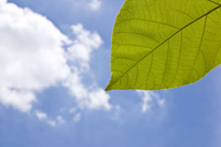 texture of teak leaf under blue sky Stock Photo