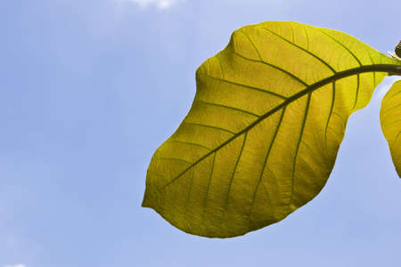 young teak leaf taken by low angle