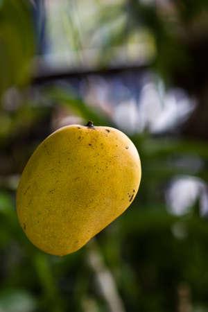 ripe of sweet mango Stock Photo