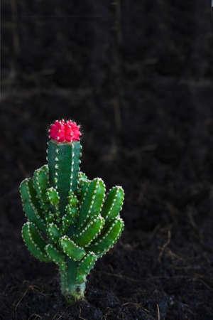 cactus dwarf trees