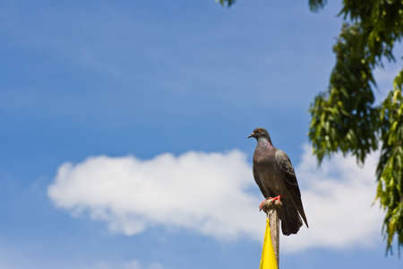 pigeon under blue sky on top of flage pole ( old system of communication ) Stock Photo