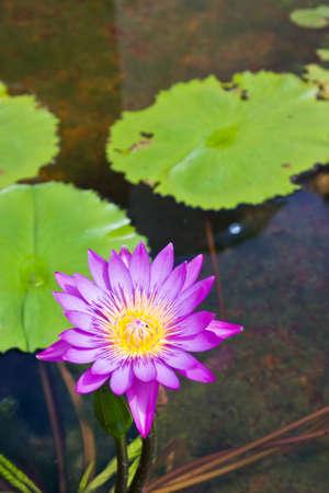 bloom full pink lotus Stock Photo