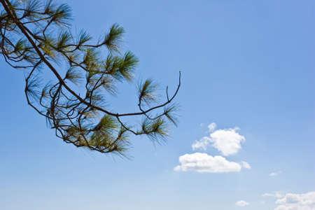 pine trees branch Stock Photo