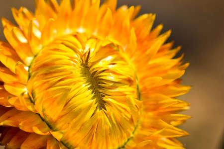 orange corolla Stock Photo