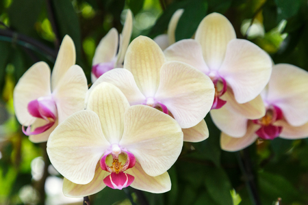 Orchid flower in orchid garden at winter or spring day for postcard beauty and agriculture idea concept design. Phalaenopsis Orchidaceae. Sin Yuan Golden Beauty Orchid. Фото со стока