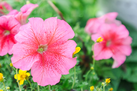 Beautiful flower and green leaf background in flower garden at sunny summer or spring day for postcard. beauty decoration and agriculture idea concept design. Pink flower.