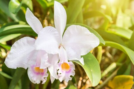 Orchid flower in orchid garden at winter or spring day for postcard beauty and agriculture idea concept design. Cattleya Orchid or warscewiczii Orchid.