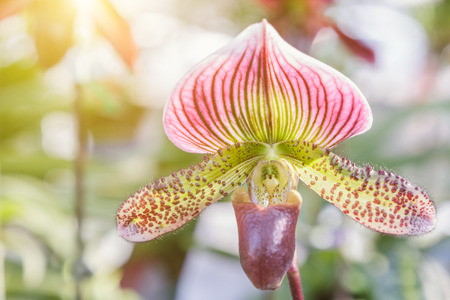 Orchid flower in orchid garden at winter or spring day for postcard beauty and agriculture idea concept design. Paphiopedilum orchid or Ladys Slipper orchid.