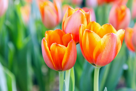 Tulip flower. Beautiful tulips in tulip field with green leaf background at winter or spring day. broken tulip. Stock Photo