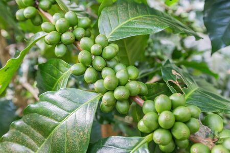 Green coffee beans growing on the branch. raw coffee bean on coffee tree plantation. Closeup fresh raw coffee bean on tree. Stock Photo