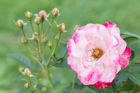 Rose flower and green leaf background in garden at sunny summer or spring day for postcard beauty decoration and agriculture concept design.
