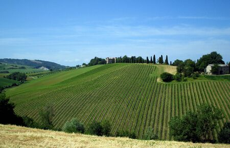 The vineyard on the hillside is still young, but the hot summer make it grow and will produce much fruit