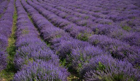 The purple color of the dominates in the neat rows of bushes Banco de Imagens