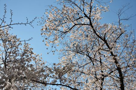 Flowering branches in the blue sky