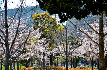 In the park the pink color of the cherry trees dominates Banco de Imagens