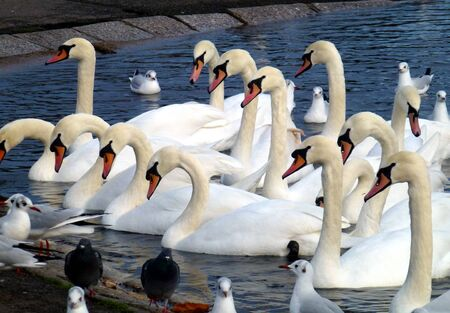 Group of swans on the bank of Kensington Gardens pond Stock Photo