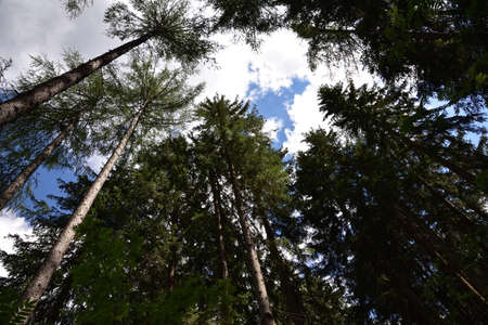 In an opening in the woods the pines rise towards the sky
