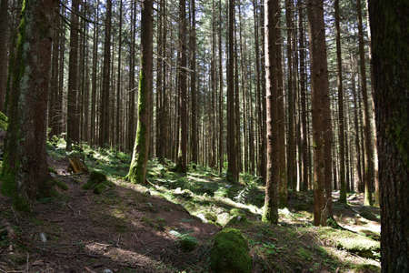 Dense pine forest in the Riva Valley