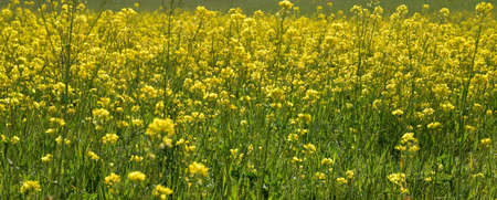 The multitude of flowers in the meadow forms like a small yellow forest