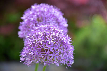 A single garlic flower blossomed in my garden, over time a companion has joined him who shares the days of their short life