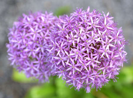 A close-up on the garlic flower allows you to admire its structure made up of many small secondary flowers with tiny petals