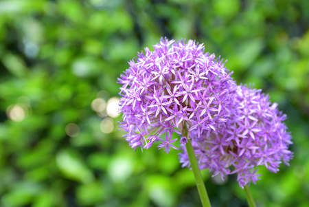 The garlic flower has a short life, it blooms once every year and its beauty lasts only a few days