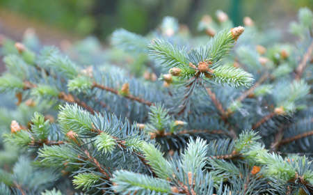 New buds on the small branches of the low mountain pine