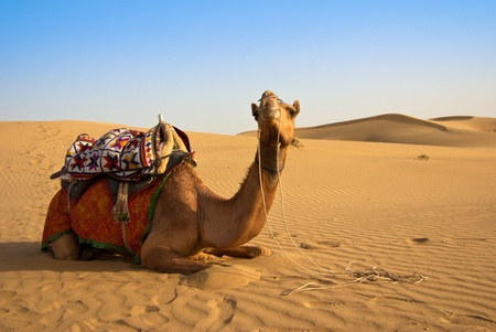 camel on the Thar desert photo