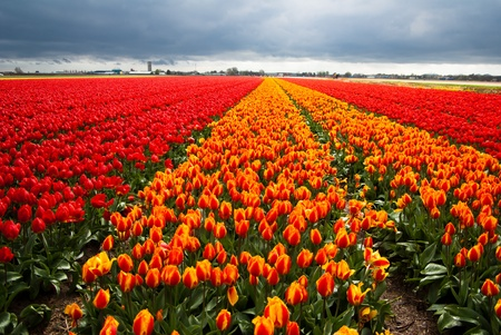 tulips field Stock Photo - 13530899