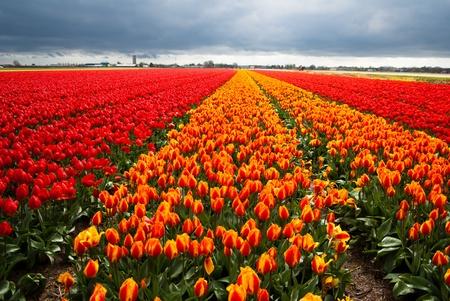 tulips field Standard-Bild