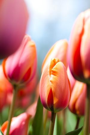 closeup tulipes