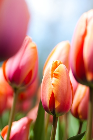 tulips closeup