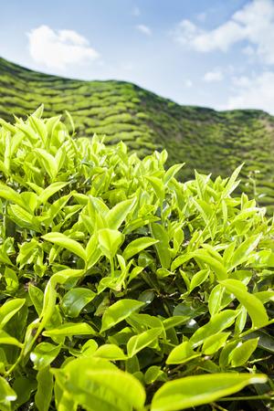 tea plantation landscape Stok Fotoğraf - 28314206