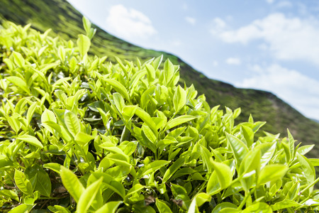 cameron highlands in Malaysia Stock Photo