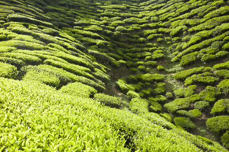 tea plantation landscape  photo