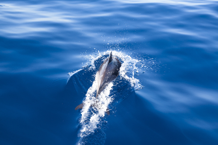 dolphin jumping: Dolphin jumping ou t of the water Stock Photo