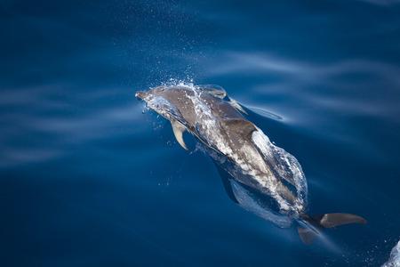 delfin: Dolphin skoków ou t wody