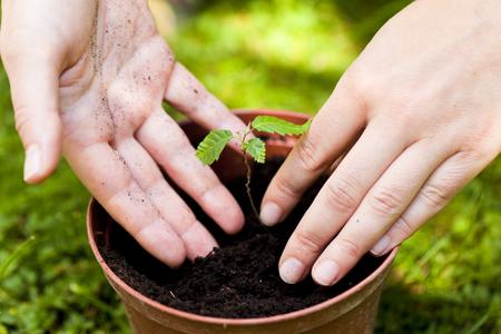 plantando un arbol: Plantar un �rbol en una maceta Foto de archivo