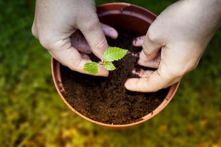 sembrando un arbol: Plantar un �rbol en una maceta Foto de archivo