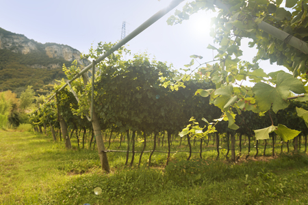 Grape wineland countryside landscape background of hills with mountain backdrop in Italy
