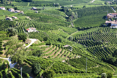 Beautiful Vineyard landscape with green and yellow leaves in sunny Valdobiaddene, Italy.